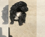 Small #9 Australian Shepherd-Poodle (Miniature) Mix