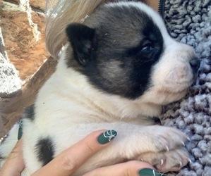 German Shepherd Dog-Siberian Husky Mix Dog for Adoption in VANCOUVER, Washington USA