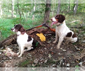 English Springer Spaniel Puppy for sale in IUKA, IL, USA