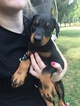 Doberman Pinscher Puppy For Sale in ELKHART, IL, USA
