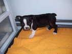 Boston Terrier Puppy For Sale in TUCSON, AZ