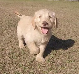 Double Doodle Puppy For Sale in SARASOTA, FL, USA