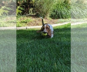 Basset Hound Puppy for Sale in ALPINE, Utah USA