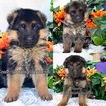German Shepherd Dog Puppy For Sale in MIAMI, Florida,