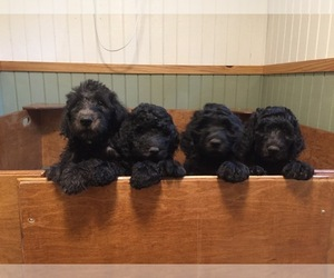 Labradoodle Puppy for Sale in WATERLOO, South Carolina USA