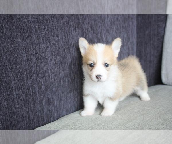 View Ad: Pembroke Welsh Corgi Puppy for Sale near Japan