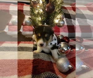 Pembroke Welsh Corgi Puppy for sale in RICHLAND, MO, USA