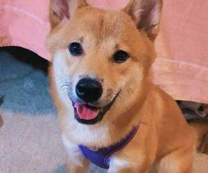 Shiba Inu Dogs for adoption in LOS ANGELES, CA, USA