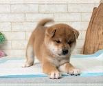 Small #5 Shiba Inu