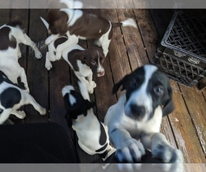 English Springer Spaniel-German Shorthaired Pointer Mix Puppy for sale in OSTERVILLE, MA, USA