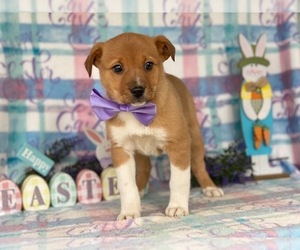Texas Heeler Puppy for sale in LANCASTER, PA, USA