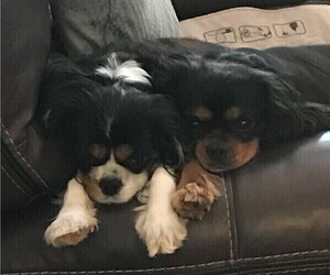 Mother of the Cavalier King Charles Spaniel puppies born on 04/21/2019