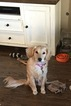 Goldendoodle Puppy For Sale in COPPELL, TX,