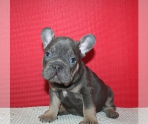 French Bulldog Puppy for Sale in BAYVILLE, New Jersey USA
