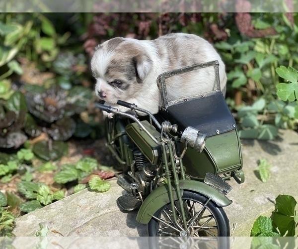 Medium Photo #15 Bullhuahua-Chihuahua Mix Puppy For Sale in RAWSONVILLE, MI, USA
