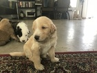 Goldendoodle-Shepadoodle Mix Puppy For Sale in FORT WORTH, TX, USA