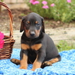 Doberman Pinscher Puppy For Sale in GAP, PA,