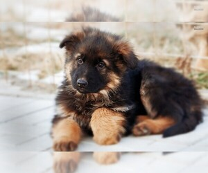 German Shepherd Dog Puppy for Sale in ROSELLE, Illinois USA