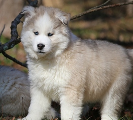 Siberian Husky Puppy For Sale in JUNCTION CITY, OH