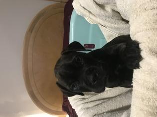 Bullmastiff Puppy For Sale in BRUNSWICK, GA, USA