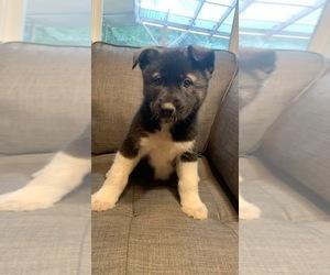 German Shepherd Dog-Siberian Husky Mix Puppy for sale in VANCOUVER, WA, USA
