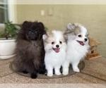 Small #8 Pomeranian