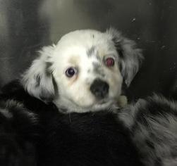 Miniature Australian Shepherd Puppy For Sale in STONEHAM, ME, USA