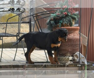 Rottweiler Puppy for Sale in OGALLALA, Nebraska USA
