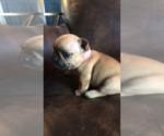Puppy 6 French Bulldog