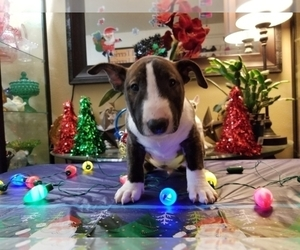 Bull Terrier Puppy for Sale in VANCOUVER, Washington USA