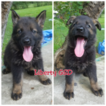 German Shepherd Dog Puppy For Sale in NEW CANEY, TX, USA