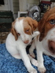 Brittany Puppy For Sale in SAINT LOUIS, MO, USA