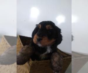 Bernedoodle Puppy for sale in GR, MI, USA