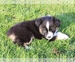 Puppy 3 Miniature American Shepherd