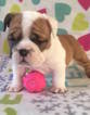 English Bulldog Puppy For Sale in CHARLESTON, South Carolina,