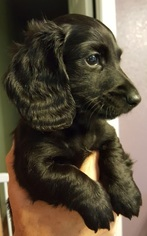 Dachshund Puppy For Sale in LA SALLE, CO, USA