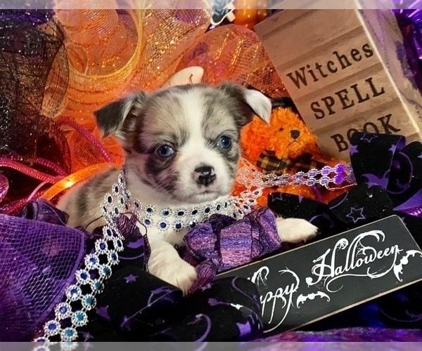 Medium Photo #17 Bullhuahua-Chihuahua Mix Puppy For Sale in RAWSONVILLE, MI, USA