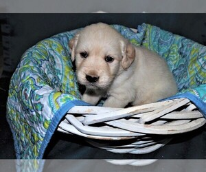 Golden Retriever Puppy for Sale in HANCEVILLE, Alabama USA