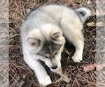 Small Photo #5 Wolf Hybrid Puppy For Sale in FILLMORE, LA, USA