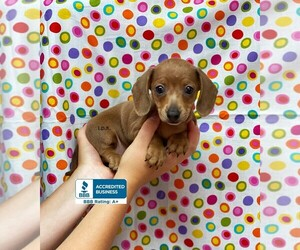 Dachshund Puppy for Sale in WINNSBORO, Louisiana USA