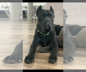 Father of the Cane Corso puppies born on 08/11/2021