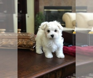 Maltese Puppy for sale in JACKSONVILLE, FL, USA