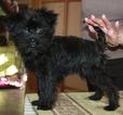 Affenpinscher Puppy For Sale in Lviv, Lviv, Ukraine