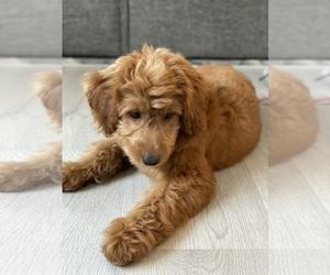 Goldendoodle Puppy for sale in POMPANO BEACH, FL, USA