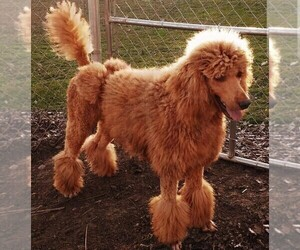 Father of the Goldendoodle puppies born on 05/13/2021