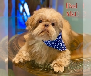 Father of the Shih Tzu puppies born on 10/26/2020