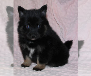 Pomsky Puppy for sale in DENTON, TX, USA