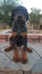 Doberman Pinscher Puppy For Sale in SACRAMENTO, CA, USA