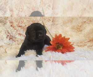 Labrador Retriever Puppy for Sale in LIVE OAK, Florida USA