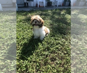 Shih Tzu Puppy for sale in HOLIDAY, FL, USA